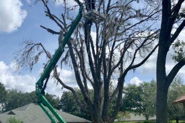 taking down a dead tree