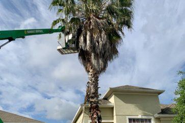 man trimming palm tree