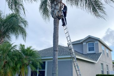 man on latter trimming palm tree