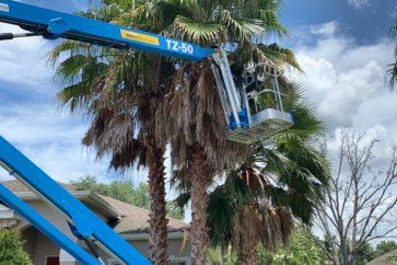 man working on palm tree thinning